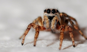 Australia krijon Shazamin për merimanga